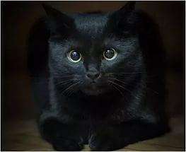 одноцветные окрасы кошек