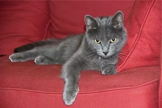 кошка дымчатого окраса