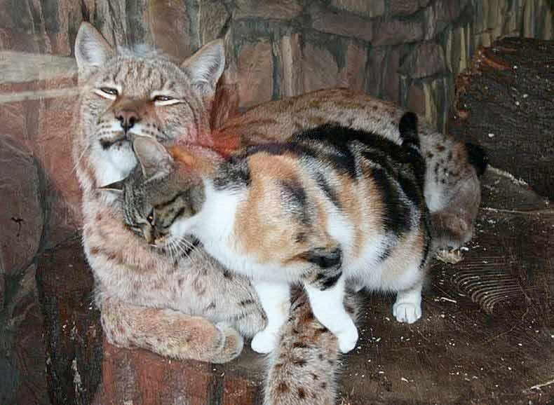 В Санкт — Петербургском зоопарке котенок забрался в клетку рыси