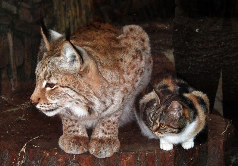 котенок и рысь