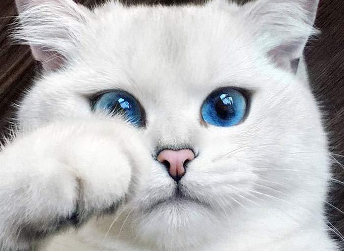 кот Коби