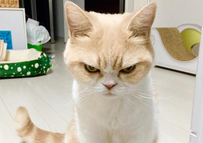 кошка Куоки