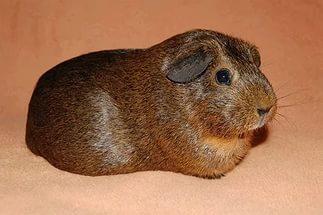 морская свинка породы агути
