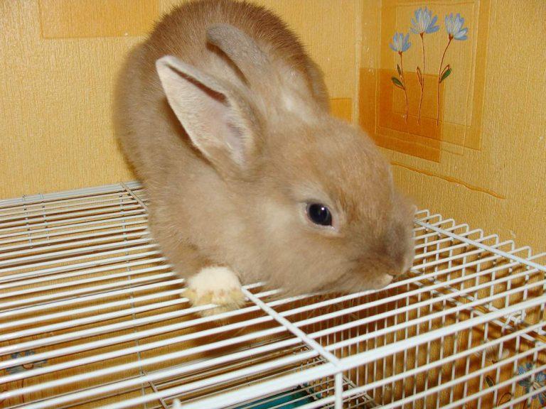 кролики породы белка