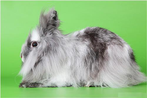 карликовый кролик породы львиная головка