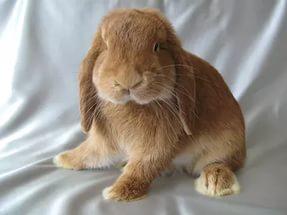 карликовые вислоухие кролики бараны