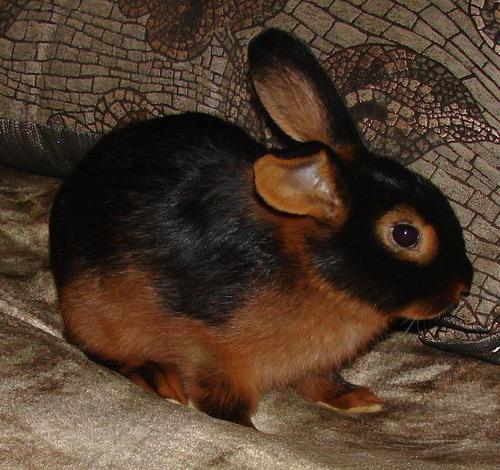 карликовые кролики породы огневка