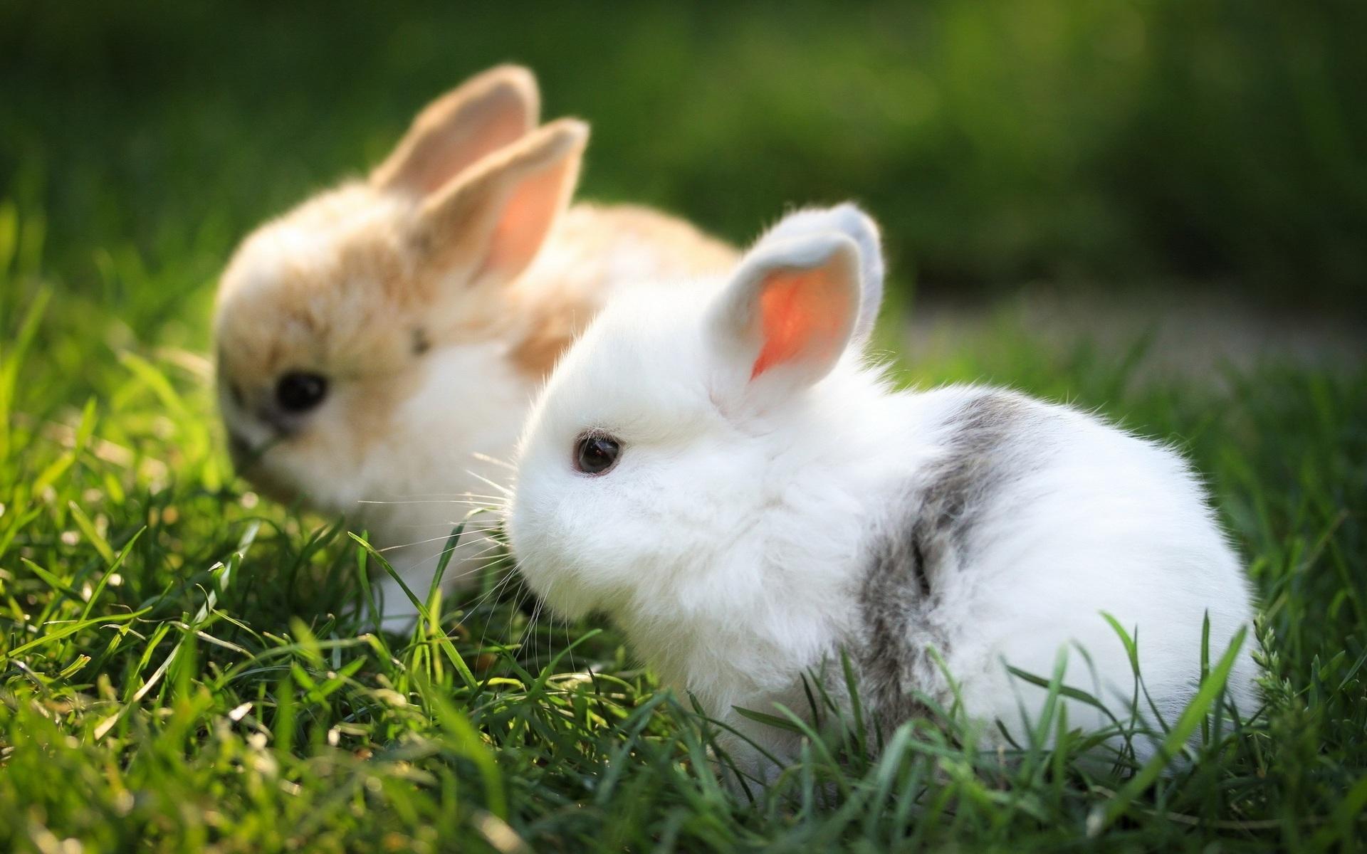 Сколько стоит домашний кролик