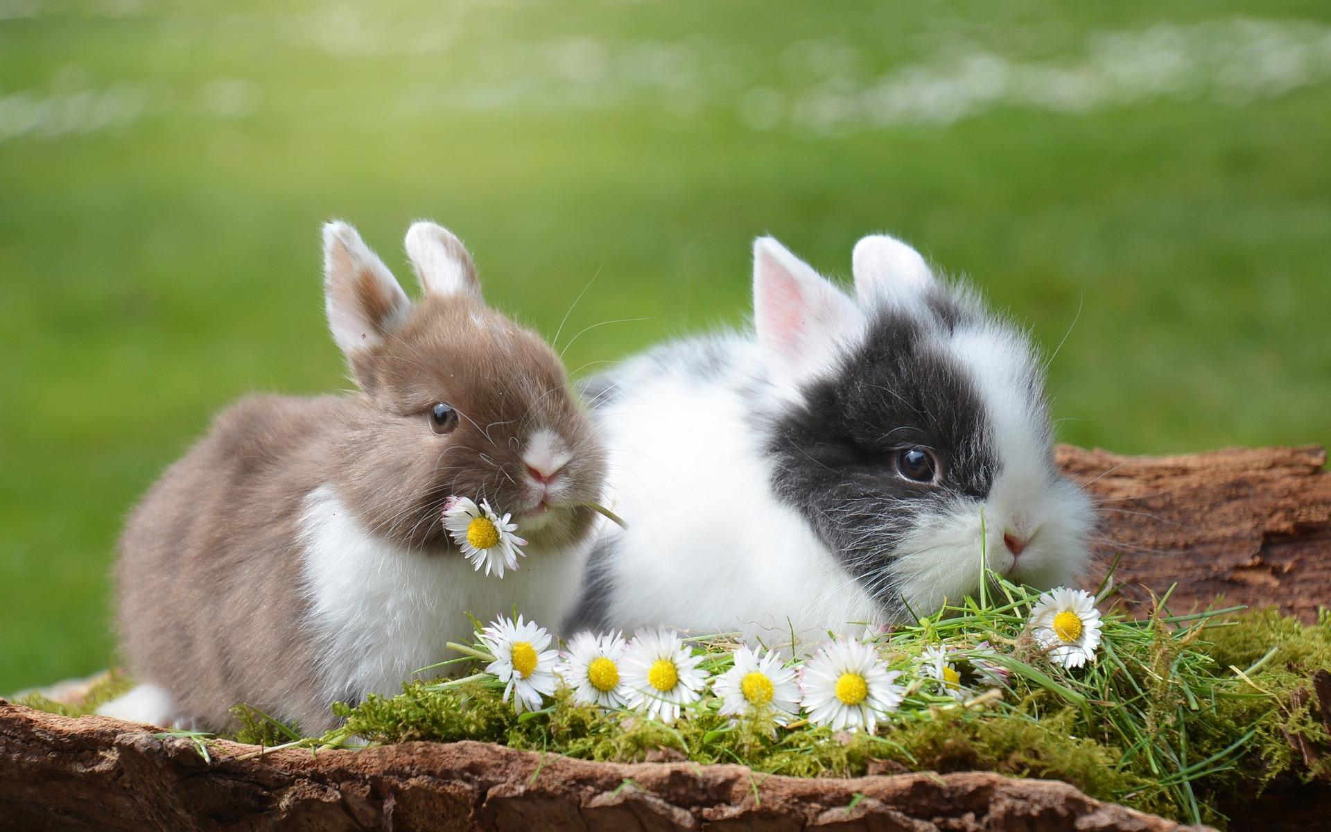 Оспа у кроликов