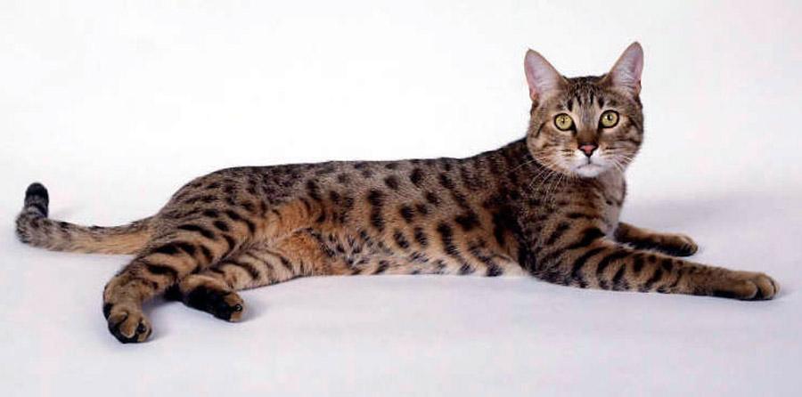 кошка породы калифорнийская сияющая