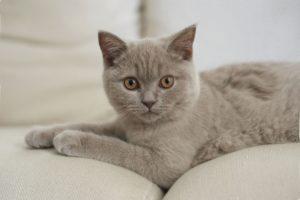 Лиловый окрас кошек