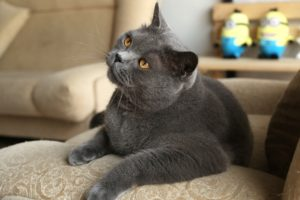 Шоколадный окрас кошек