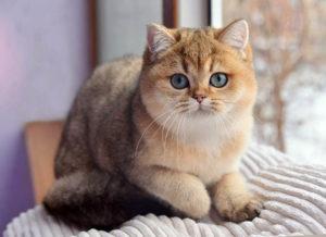 Золотой окрас кошек