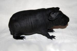 Морская свинка породы скинни