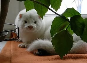 Белый хорек